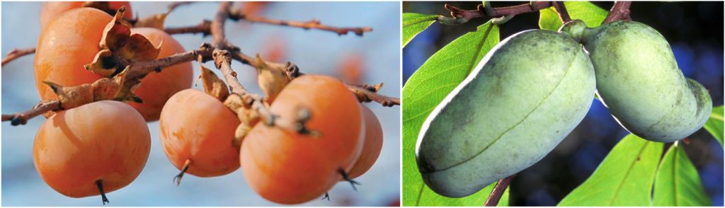 persimmons-pawpaw